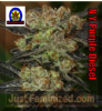 Next Generation NY Purple Diesel Female 5 Seeds